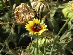 Abeja Megachilidae sobre una flor de caléndula