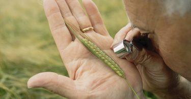 Un investigador examina una espiga de trigo dentro de las actividades de control de plagas