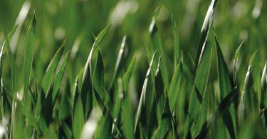 malas hierbas de hoja estrecha