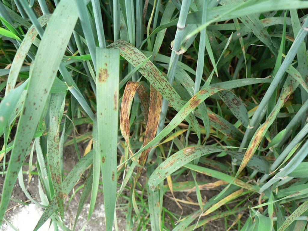 Helmintosporiosis de la cebada