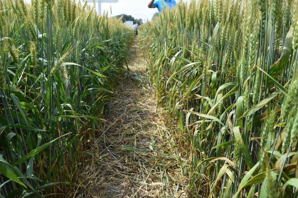 Rotación de cultivos: ¿por qué no cultivar trigo dos años seguidos?
