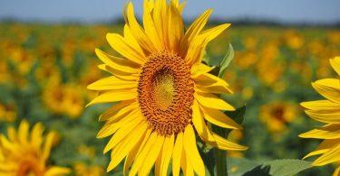 Cultivo de Girasol Alto Oleico: Recomendaciones