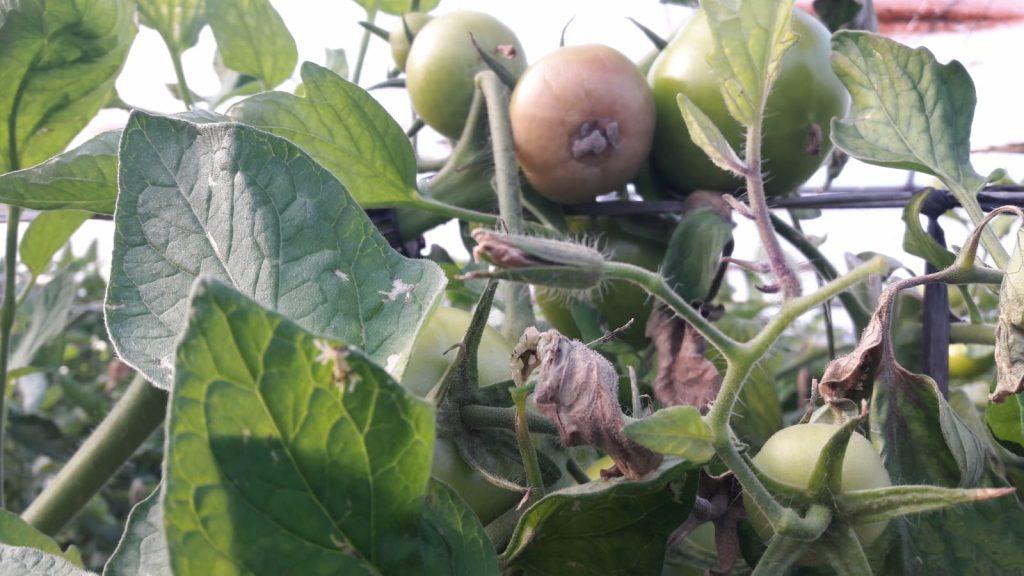 botritis en cultivos