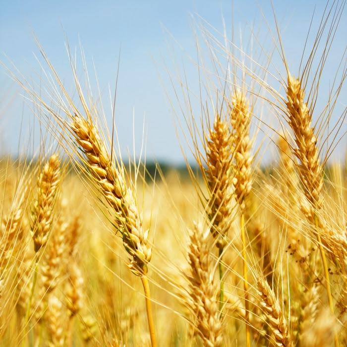 cosecha trigo