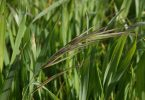 Avena spp y Lolium spp, gramíneas que afectan al cereal