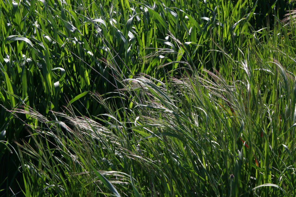 Bromo es capaz de mermar la cosecha hasta causar graves pérdidas sobre el rendimiento del cereal