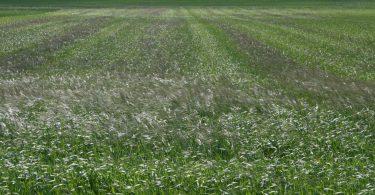 Bromo ¿qué debemos saber de esta mala hierba?
