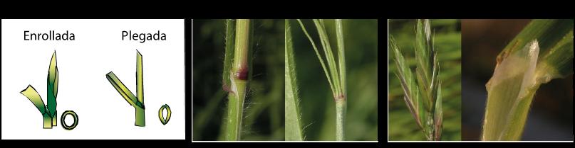 Cómo identificamos el Bromus sp. en nuestro cultivos