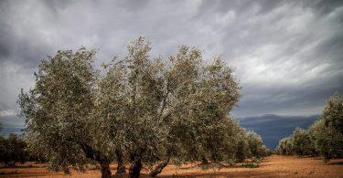 como podar un olivar