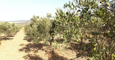 Como sacar la máxima rentabilidad a tu olivar