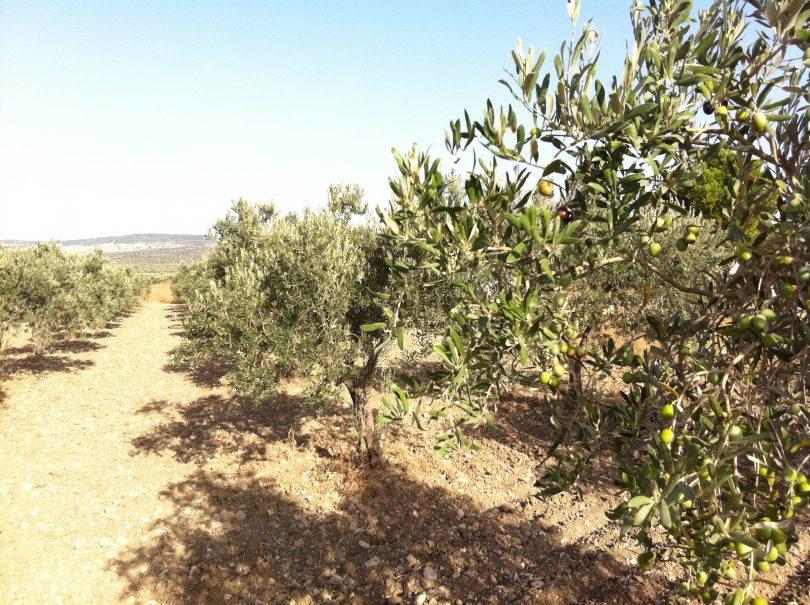 El suelo de mi olivar presenta salinidad ¿qué puedo hacer?