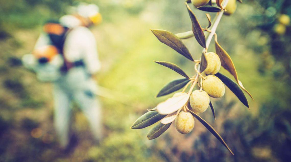 Día Mundial del Olivo