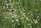 Anthemis, mala hierba de otoño en cereales de invierno