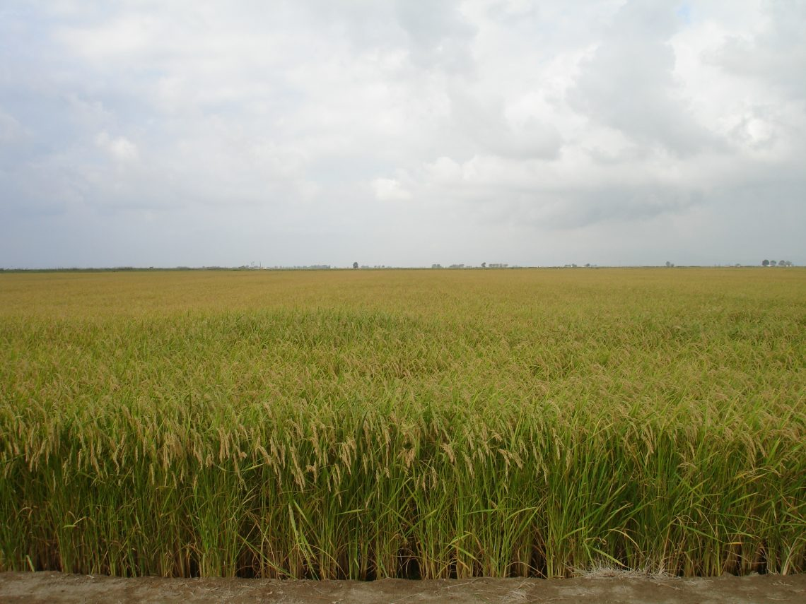 Control de Piriculuria y Helmintosporiosis en arroz