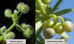 Galium fruto