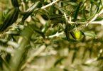 Variedades de aceitunas para los mejores aceites de oliva