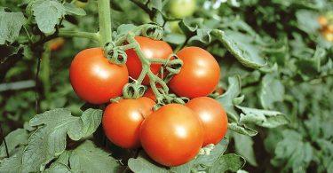enfermedades en el cultivo del tomate