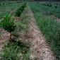 Control de malas hierbas en cítricos