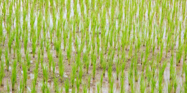 El principal problema global en el cultivo del arroz es el manejo de las malas hierbas