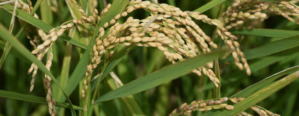 ¿Cuáles son las principales enfermedades del arroz?