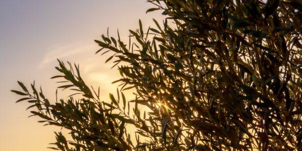 Bactrocera oleae, la mosca del olivo